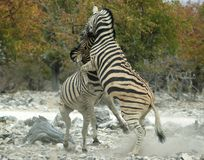 Rearing zebra. Zebra rearing against eachother Stock Images