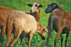 Reasons to raise a sheep. Three sheep are grazing in the field, two sheep are looking at the shepherd, the owner and one sheep is nipping the grass. Sheep of Royalty Free Stock Photos
