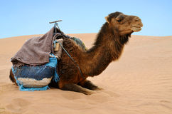 Reasting camel Royalty Free Stock Photos