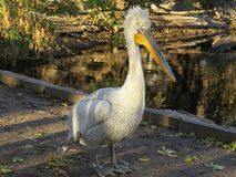 Reat är den vita pelikan, Pelecanusonocrotalusen också som är bekant som den östliga vita pelikan, rosig pelikan eller den vita p fotografering för bildbyråer