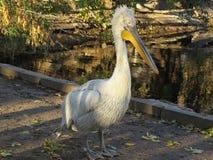 Reat biały pelikan, Pelecanus onocrotalus także znać jako wschodni biały pelikan, różowy pelikan lub biały pelikan, jest a obraz stock