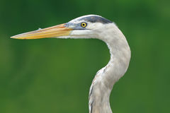 Reat blue heron in Santa Cruz island Royalty Free Stock Images
