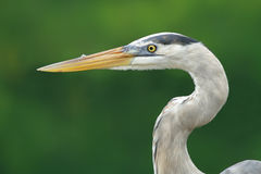 Reat blue heron in Santa Cruz island Stock Photos