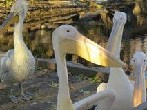 Reat witte die pelikaan, Pelecanus-onocrotalus ook als de oostelijke witte pelikaan wordt bekend royalty-vrije stock fotografie