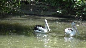 Reat witte pelikaan en de pelikaanfamilie bij de dierentuin stock footage