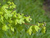 Reaumurella van Adela - motten in de lentezonneschijn stock foto