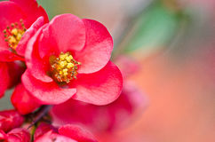 Reb blosson op brunch Stock Afbeelding
