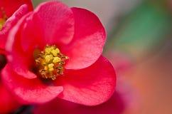 Reb blosson op brunch Stock Fotografie