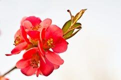 Reb blosson op brunch Royalty-vrije Stock Foto's