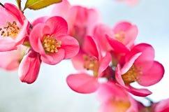 Reb blosson op brunch Royalty-vrije Stock Afbeelding