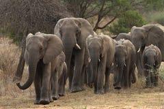 Rebaño de cría de los elefantes que se acercan en el parque de Kruger Fotografía de archivo libre de regalías