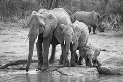 Rebaño de cría del agua potable del elefante en una pequeña charca fotografía de archivo libre de regalías
