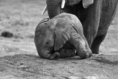 Rebaño de cría del agua potable del elefante en una pequeña charca fotografía de archivo