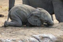 Rebaño de cría del agua potable del elefante en una pequeña charca imagenes de archivo