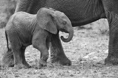 Rebaño de cría del elefante que camina y que come en hierba corta foto de archivo