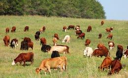 Rebaño de vacas Foto de archivo libre de regalías
