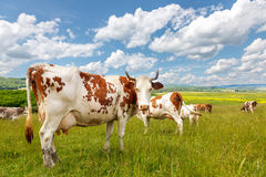 Rebaño de vacas en campo del verano Foto de archivo libre de regalías