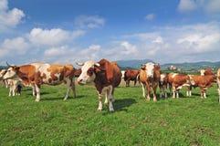Rebaño de vacas en un campo Imágenes de archivo libres de regalías