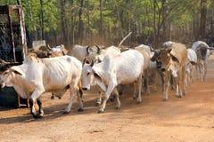 Rebaños de vacas blancos de Tailandia Imagenes de archivo