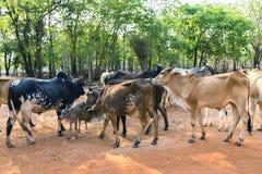 Rebaños de vacas blancos de Tailandia Foto de archivo libre de regalías