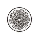 Rebanada de la rebanada de limón, naranja, pomelo, cal Bosquejo de la tiza Ilustración drenada mano del vector Estilo retro ilustración del vector