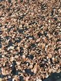 Rebanadas secadas al sol de atroviridis del Garcinia o tamarindo del Garcinia o de Malabar o baya berrenda o Assa imagen de archivo libre de regalías