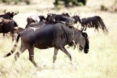 Rebanho azul do Wildebeest Fotos de Stock Royalty Free