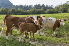 Rebanho bonito das vacas com a vitela no prado dos cumes Fotografia de Stock Royalty Free