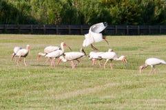 Rebanho branco dos íbis dos pássaros Fotografia de Stock