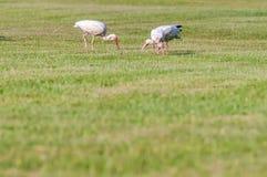 Rebanho branco dos íbis dos pássaros no litoral do nacional dos hatteras do cabo Imagens de Stock
