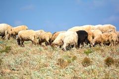 Rebanho com os carneiros que pastam, Grécia Foto de Stock