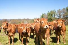 Rebanho curioso de gados bovinos novos de Limousin em um pasto da cume Fotos de Stock
