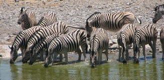 Rebanho da água potável da zebra Fotografia de Stock Royalty Free