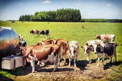 Rebanho da água potável das vacas Conceito agricultural Foto de Stock