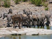 Rebanho da água potável das zebras Fotografia de Stock Royalty Free