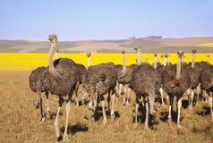 Rebanho da avestruz Fotografia de Stock Royalty Free
