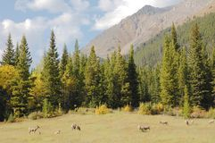 Rebanho da cabra Foto de Stock Royalty Free
