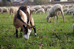 Rebanho da cabra e dos carneiros Foto de Stock Royalty Free