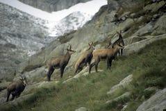 Rebanho da cabra-montesa imagens de stock royalty free