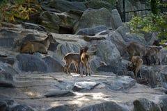 Rebanho da cabra-montesa, cabra selvagem Fotos de Stock Royalty Free