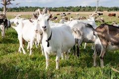 Rebanho da cabra no fundo do verão do pasto da grama verde imagem de stock