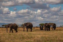 Rebanho da caminhada do elefante no savana no parque nacional de Tarangire imagens de stock