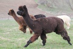 Rebanho da corrida das alpacas Foto de Stock Royalty Free