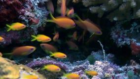 Rebanho da escola de peixes coloridos na sopa do mar no recife video estoque