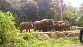 Rebanho da foto dos elefantes Imagens de Stock
