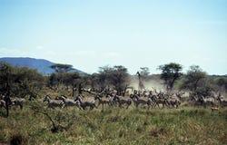 Rebanho da fuga, Serengeti NP, Tanzânia imagens de stock royalty free