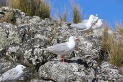 Rebanho da gaivota na rocha Foto de Stock