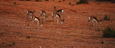Rebanho da gazela de África na argila vermelha fotografia de stock royalty free