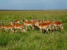 Rebanho da gazela no Masai Mara em Kenya fotografia de stock