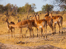 Rebanho da impala Fotografia de Stock Royalty Free